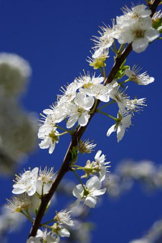 VNZ007spring_flower02.jpg
